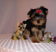 Super Tea Cup yorkie Puppies for Adoption